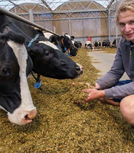 Zeeuwse melkveehouder: 'Zonder bijvoeren gaan de koeien over de kop'