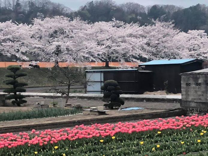 Kersenbloesems vlakbij Tokyo, Japan.