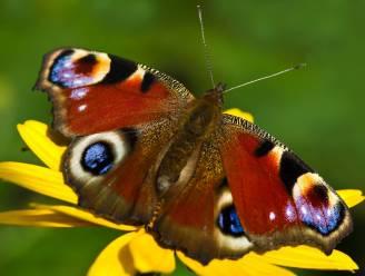 Op amper drie maanden tijd van slechtste naar beste vlinderjaar