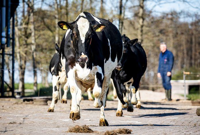 Bij boer Cees van de Wekken uit Maasdam mochten de 55 koeien de weide weer in om te grazen.