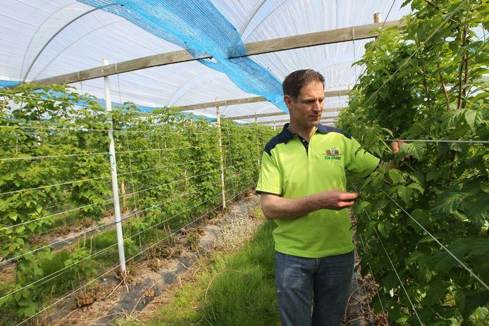 Frambozenkweker Arjan de Haas in Nuenen wil zijn plastic overkappingen vervangen door doorzichtige zonnepanelen.