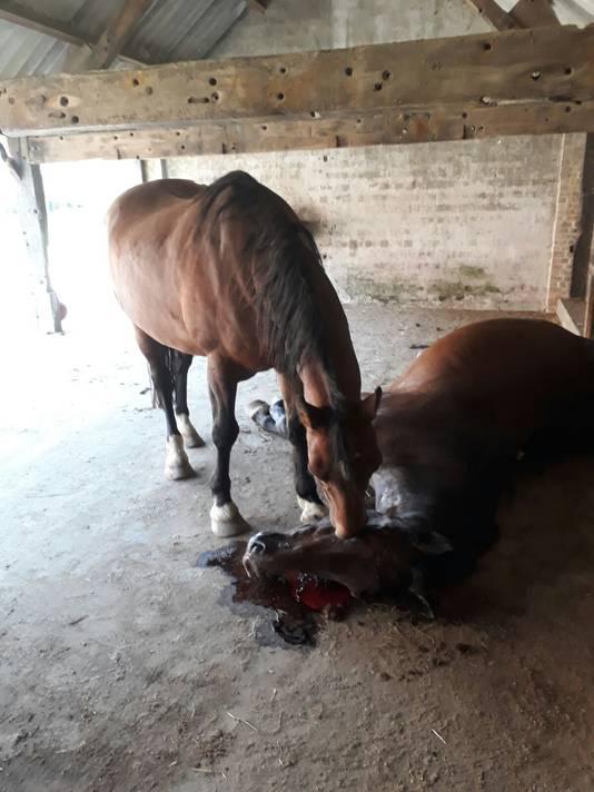 Pony Magic Boy neemt afscheid van de inmiddels overleden ruin Lagos.