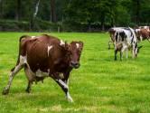 Blijdschap! 180 koeien mogen weer naar buiten