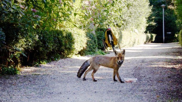 Een vos in West Beeld NPO1
