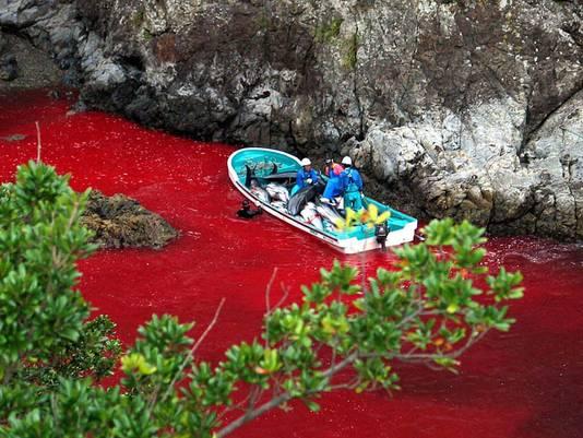 Door het leegbloeden van de dolfijnen kleurt het water in de Taiji-baai rood.