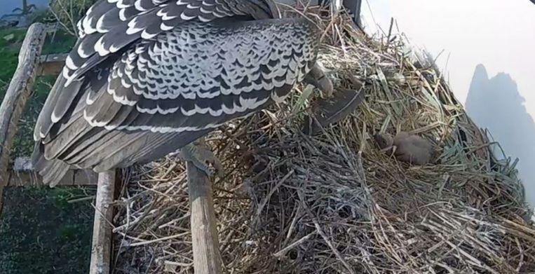 Het witruggiertje in zijn nest. Beeld Diergaarde Blijdorp