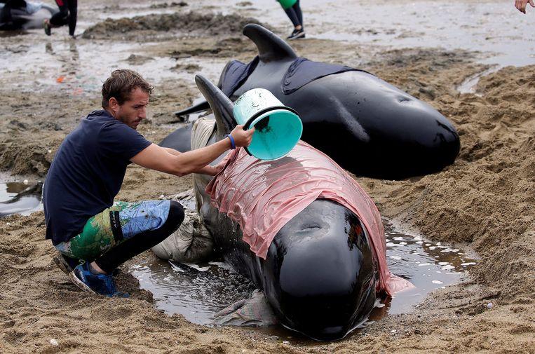 In Northland op het uiterste noorden van het Nieuw-Zeelandse Noordereiland doet de lokale natuurbescherming samen met een honderdtal vrijwilligers verwoede pogingen om twee aangespoelde bultrugwalvissen terug in zee te krijgen. Op de foto een aangespoelde pilot whales, die vorig jaar in februari aanspoelden op een Nieuw-Zeelands strand.   Beeld REUTERS