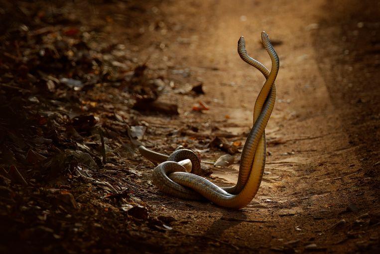 Twee verstrengelde, niet-giftige Aziatische rattenslangen. Elk jaar sterven wereldwijd 81.000 tot 138.000 mensen na een slangenbeet. Beeld Ondrej Prosicky/Getty Images