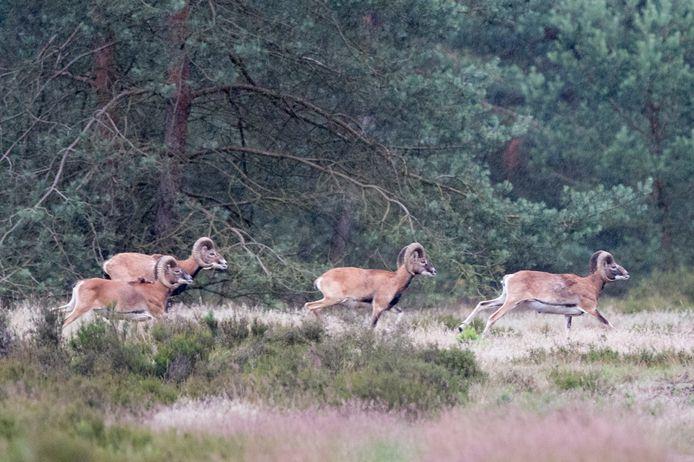De grootste wilde kudde moeflons in Nederland leeft binnen het Nationaal Park. De beheerder wil er alles aan doen om de wilde schapen te beschermen tegen de wolf.