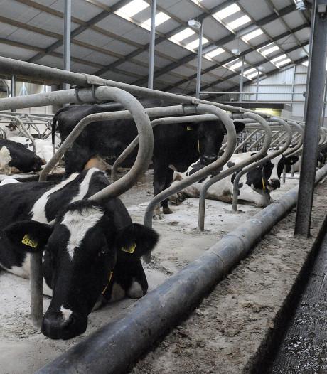 Hoeveel veehouders verdwijnen? Sint Anthonis schat nu 40 procent: 'Dit heeft grote impact'
