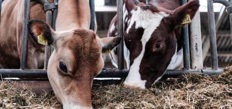 Haalt kleinere koe onze boeren uit de stikstofcrisis?