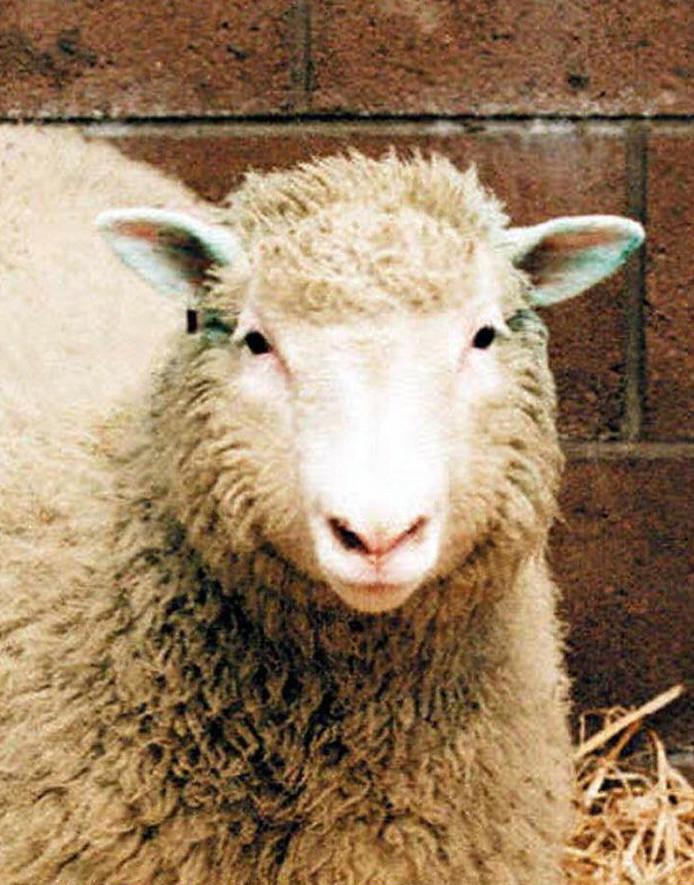 Dolly, het gekloonde schaap.
