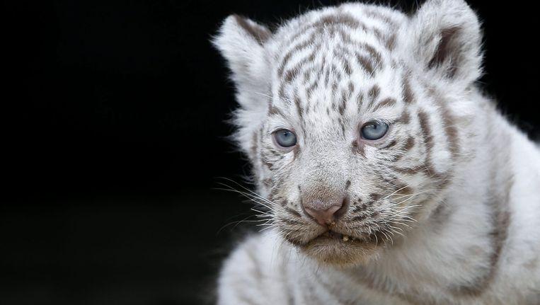 Een wit tijgerwelpje in Japanse dierentuin Tobu Zoo Park. Beeld ANP