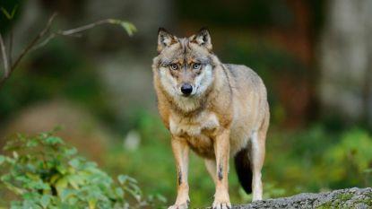 Wolf doodgereden in Nedersaksen