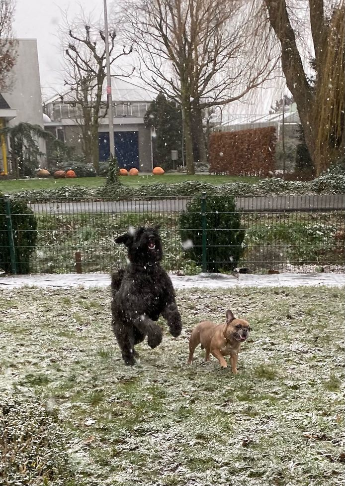 Ze wilden het liefst de hele dag buiten blijven, Joy en Rico, de hondjes van Shirley Versteegh uit De Lier.