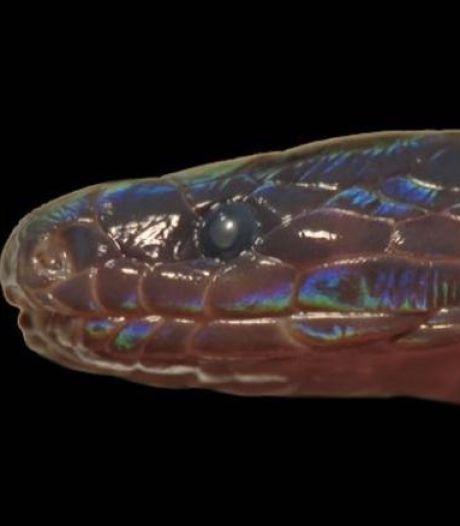 Un serpent iridescent aux écailles fluorescentes découvert au Vietnam