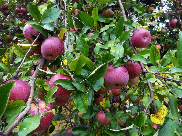 Appels aan de boom, zoals ze in de voedselbossen moeten worden verbouwd en geoogst.