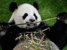'Belgische' panda Hao Hao waarschijnlijk zwanger