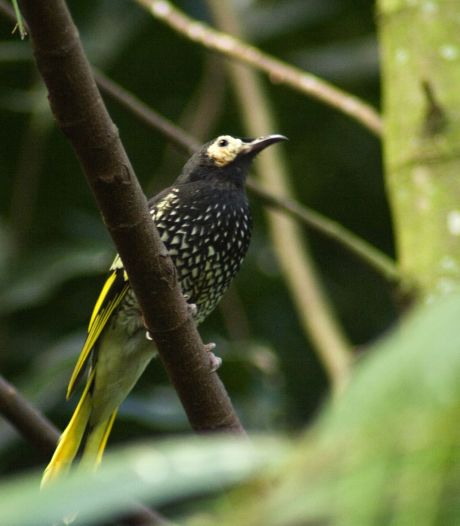 Met uitsterven bedreigde zangvogel 'vergeet' zijn eigen lied