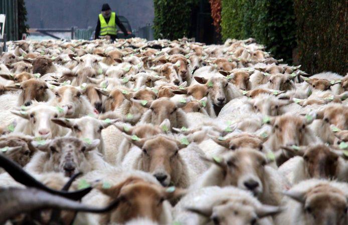 Een herder van De Lachende Ooi op weg naar een overwinterstal in Biezenmortel (archieffoto)