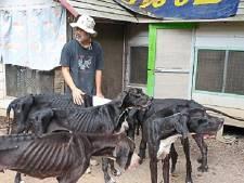 Thaise koning ontfermt zich over dertien uitgemergelde Duitse doggen