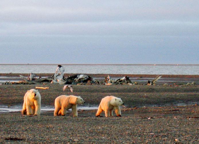 IJsberen in het bedreigde natuurgebied, Arctic National Wildlife Refuge.
