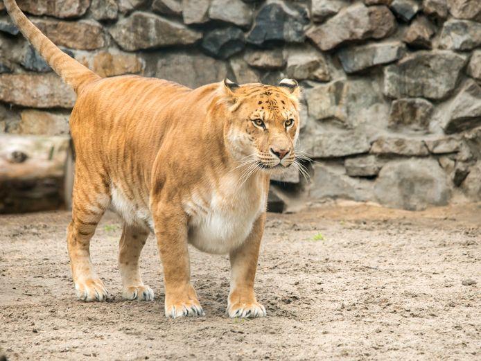 Een liger.