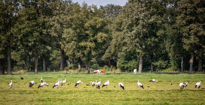 26 ooievaars zijn maandag neergestreken in een pas gemaaid weiland in de buurtschap Agelo tussen Oldenzaal en Ootmarsum.