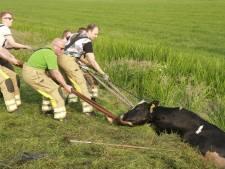 Schoolkinderen vinden koe in sloot