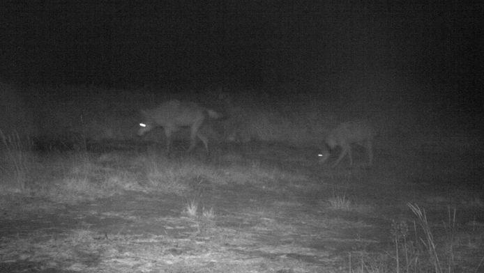 Au printemps, la louve Naya avait été repérée dans cette province. Un deuxième individu, un mâle cette fois, y serait désormais également actif. Les deux spécimens ont été pris en photo ensemble. S'ils forment un couple, des jeunes pourraient dès lors compléter la meute l'année prochaine.