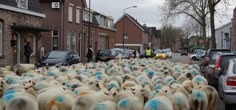Kudde van 230 schapen loopt door centrum Kaatsheuvel