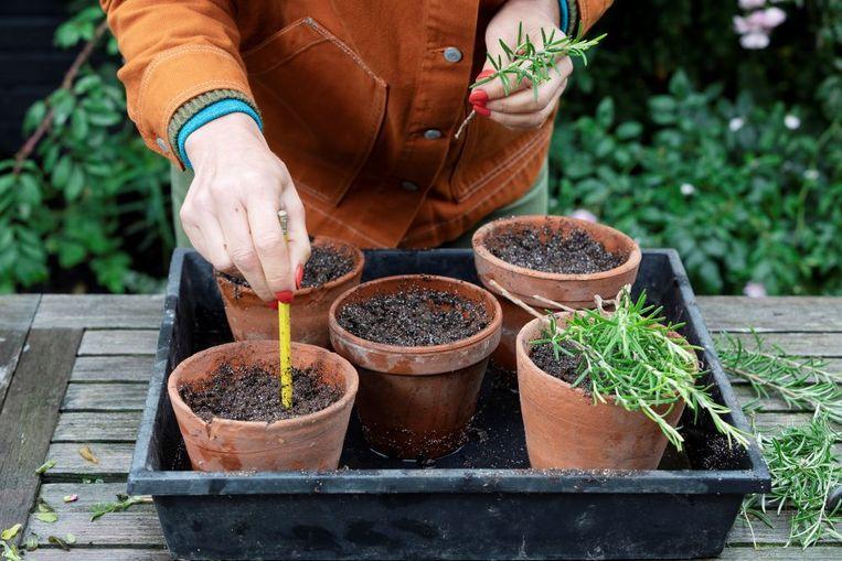 Overigens kun je nu nog meer planten vermeerderen, zoals lavendel, fuchsia en balkongeraniums; van één takje maak je dan een volledig nieuwe plant