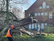 Monumentale kastanje sneuvelde niet voor niets: hout wordt bewerkt tot iets moois voor rouwende buurt