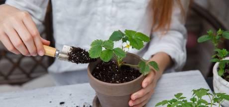 Waarom een plant in een pot extra voeding nodig heeft