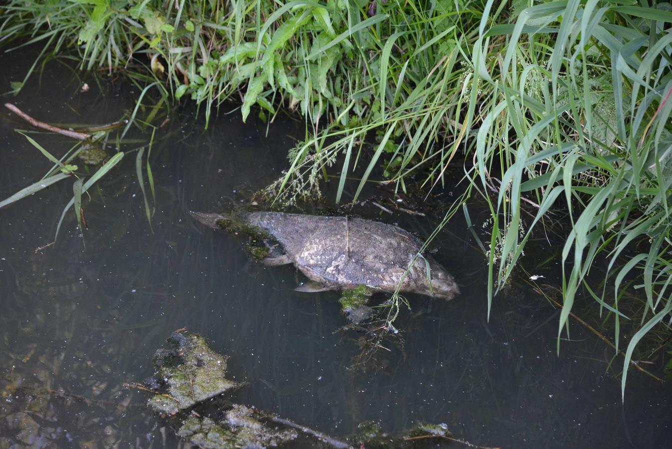 Massale vissterfte in de Handzamevaart, hier in Werken (Kortemark). De dode vis drijft af richting Diksmuide en de IJzer.