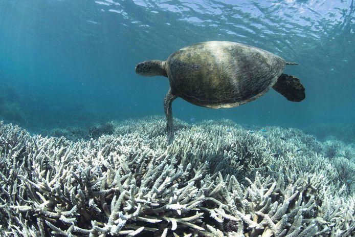 Over 20 jaar zal volgens de voorspellingen 70 tot 90 procent van de koraalriffen verdwenen zijn door klimaatverandering en zeevervuiling.