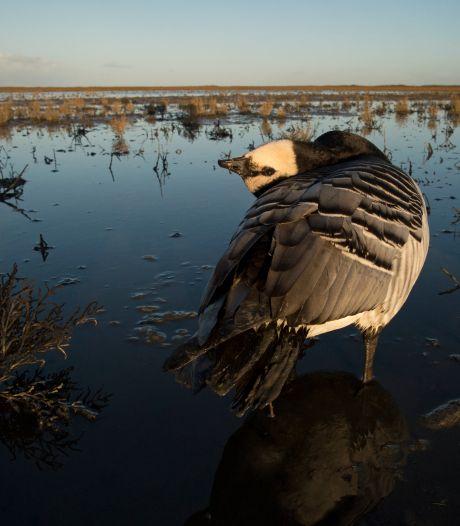 Vogelgriep houdt huis onder wilde vogels: 'Te bizar voor woorden'