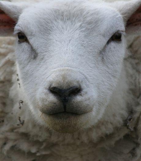 Illegale slachtplaats ontdekt op Betuwse boerderij: particulieren mochten zelf schapen doden