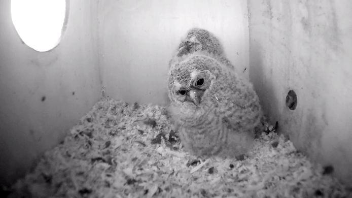 Ook dit jaar zijn de camera's gericht op de nesten van uilen.