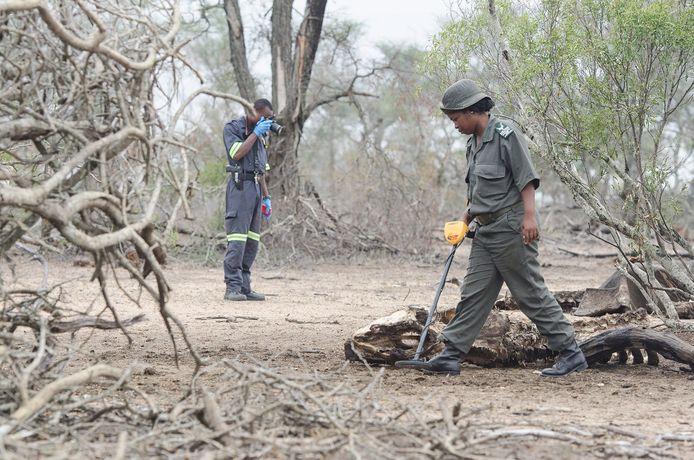 Parkwachters zoeken in het Krugerpark naar kogels nabij het kadaver van een neushoorn.