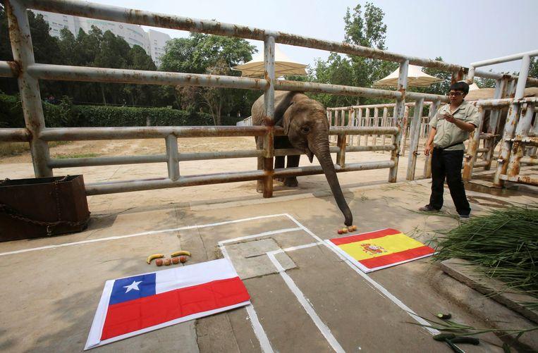 Olifanten worden vaak gebruikt voor circusoptredens in wildparken in China. Hier moet een olifant in de Jinan dierentuin bepalen wie de voetbalwedstrijd voor de wereldkampioenschappen in 2014 tussen Spanje en Chili zal winnen.  Beeld REUTERS