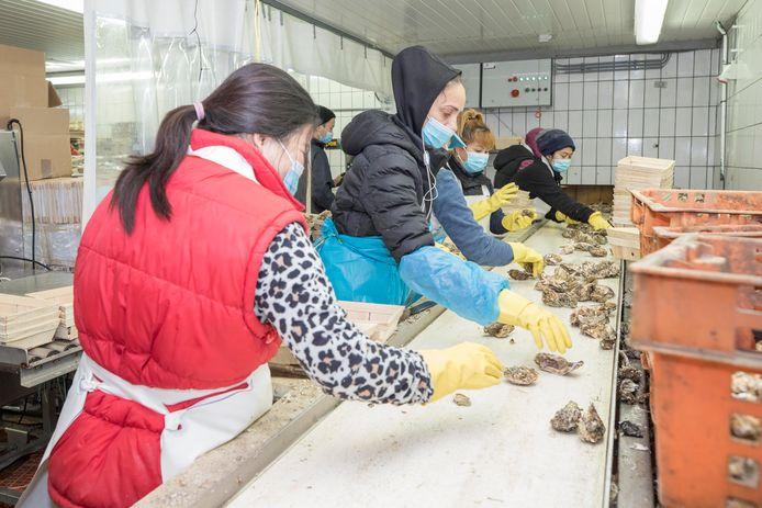 Medewerkers van oesterbedrijf Delta Ostrea sorteren kromme oesters.