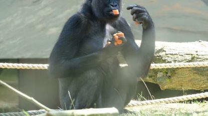 Zoo in blijde verwachting van kerstgorilla