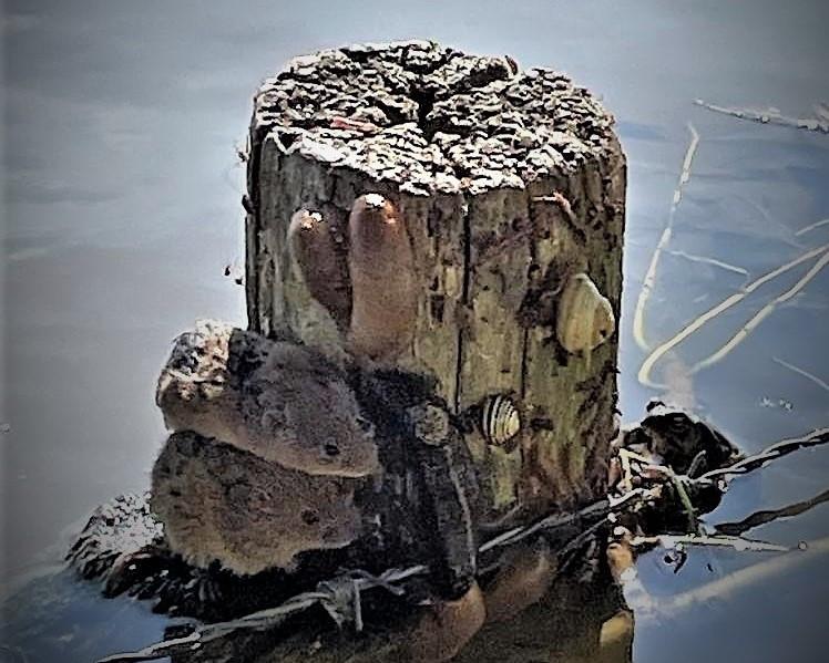 Voor deze veldmuizen en slakken geldt een afrasteringspaal op de Maasakkers bij Megen als reddingsboei.