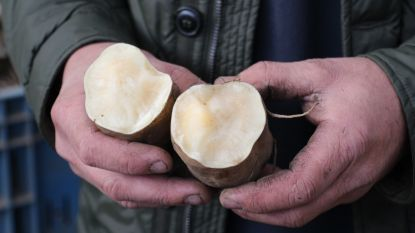 """Binnenkort op ons bord: de """"Yacon"""" als alternatief voor de aardappel"""