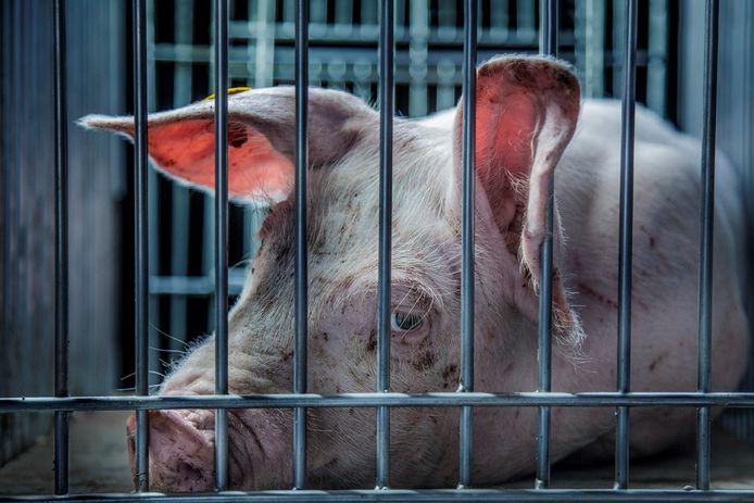 Volgens Wakker Dier gaat het niet goed met de varkens.