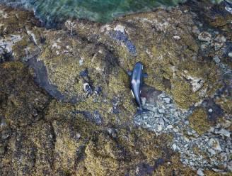 Gestrande orka overleeft nadat mensen urenlang water over dier heen gieten