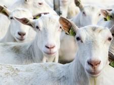 PvdA wil ook stop geitenstallen in Zaltbommel