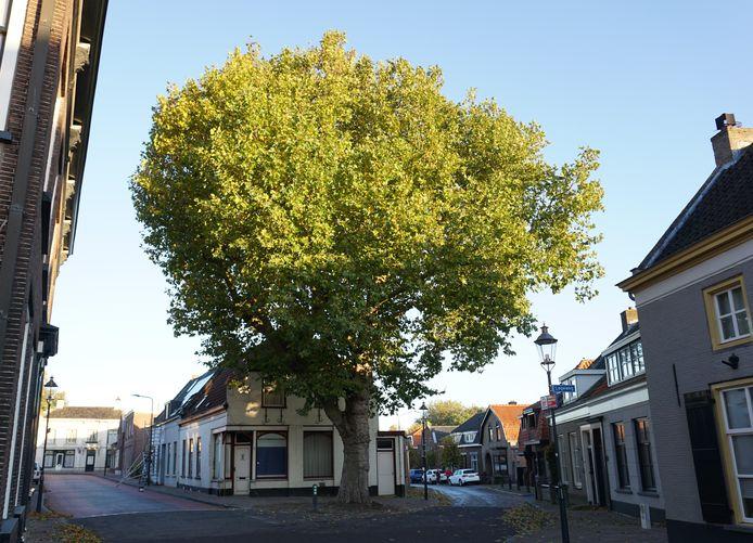 De plataan aan de Raadhuisstraat in Terheijden is een van de bomen die als 'zeer waardevol' op de nieuwe waardevollebomenkaart van de gemeente Drimmelen staat.