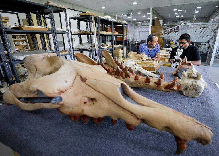 De kop van de 43 miljoen jaar oude walvis. Beeld REUTERS